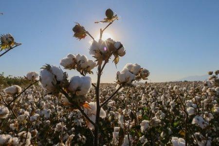 Produção de algodão