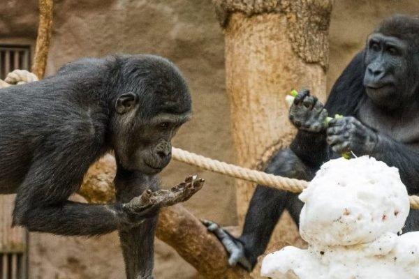 Gorilla com Covid-19 no Prague Zoo