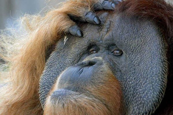 Orangotango, no San Diego Zoo