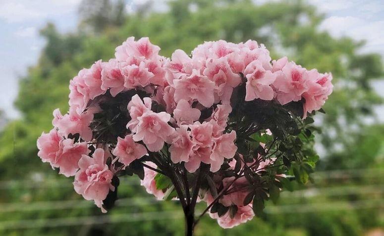 azaleia planta