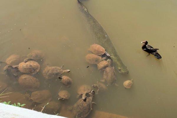 goias piracucu em lago de parque em goiania