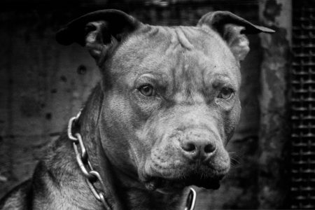 Cachorro pitbull