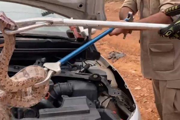 Jiboia encontrada no motoro de carro em Goiás