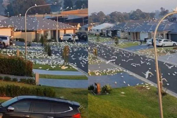 Pássaros invadem Austrália