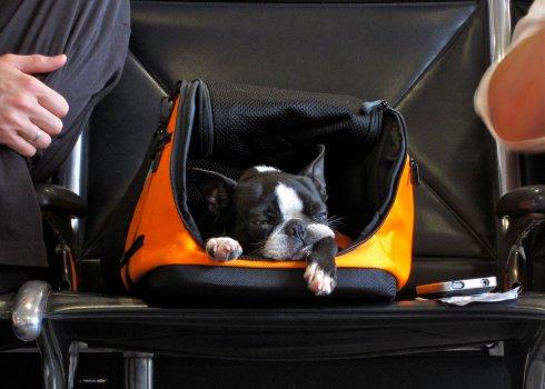Cachorrinho na mala de mão