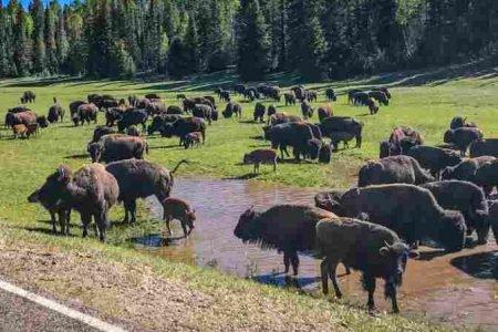 bisões nos EUA