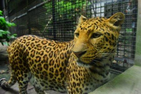 Leopardo desaparecido China
