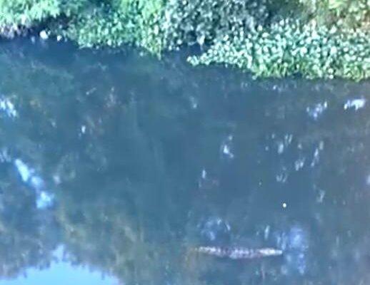 Vídeo mostra aproximação de jacaré em lagoa onde corpo foi encontrado