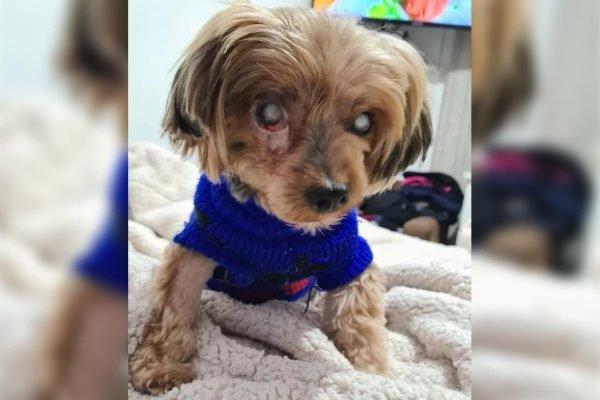 Cão cego e com larvas no olho é abandonado por donos
