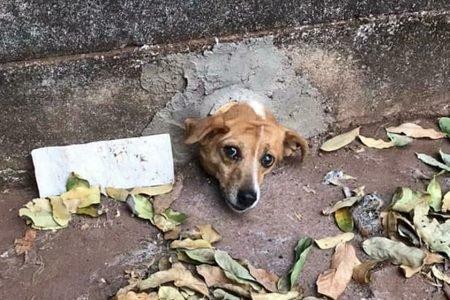 Cachorro prende a cabeça em cano de PVC, em buraco de muro em Goiás