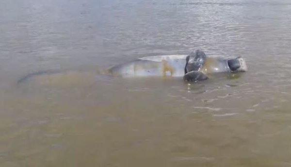 Peixe-boi foi encontrado morto em rio
