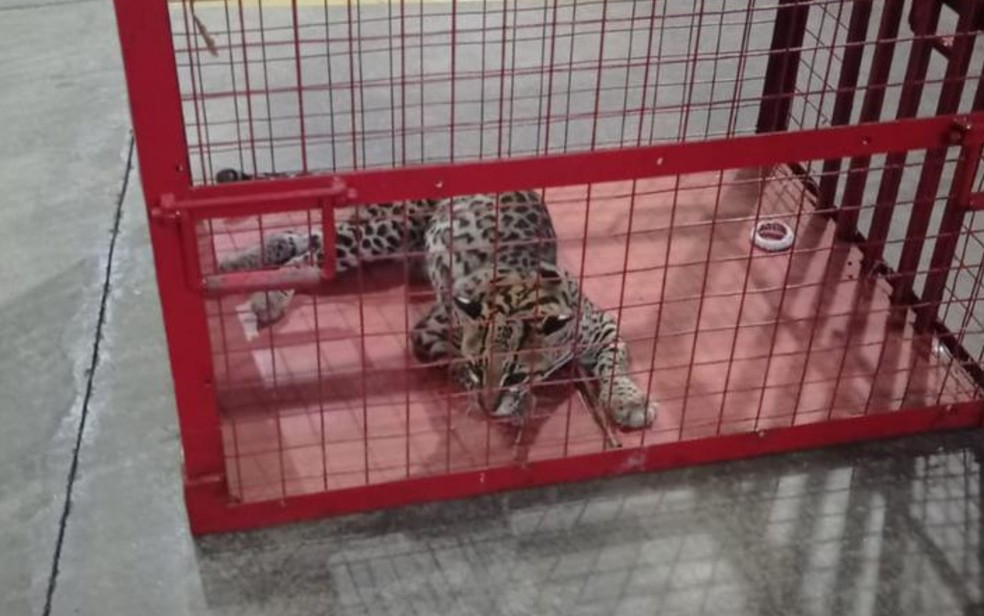 goias jaguatirica atropelada