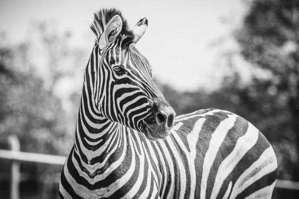 Zebra zoológico de Brasília