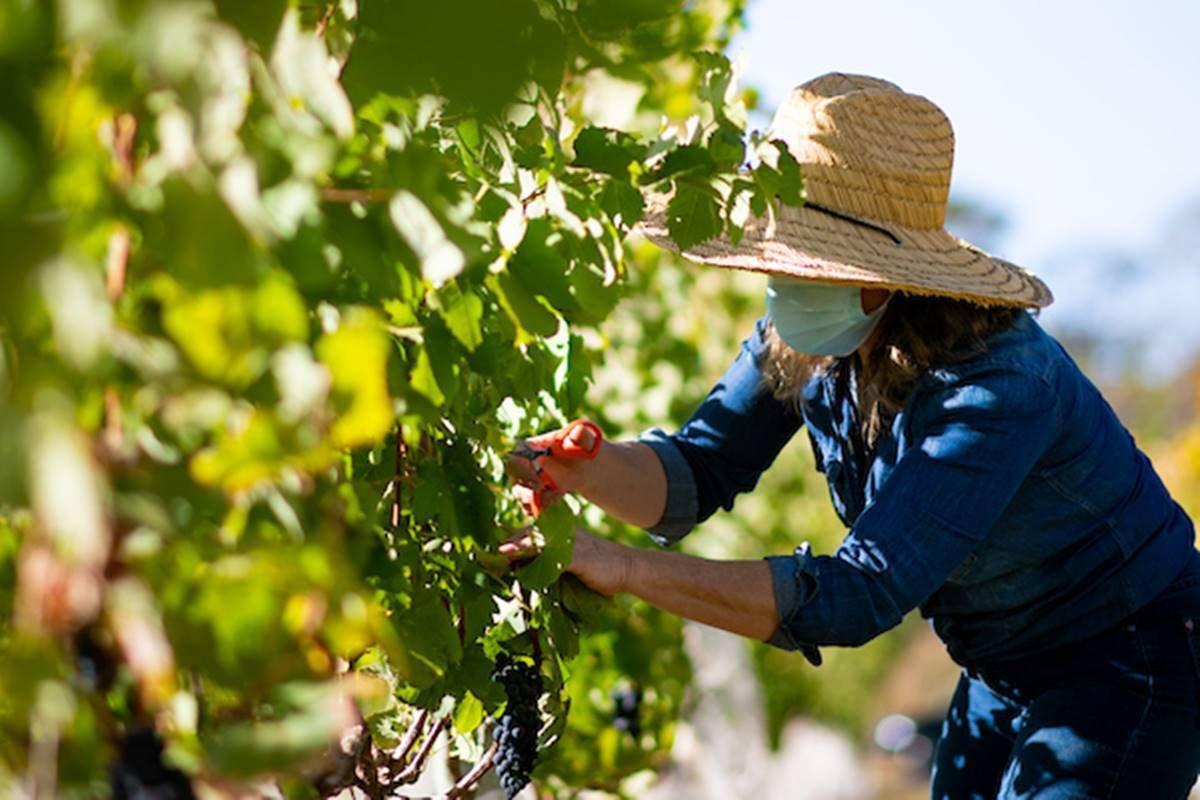 Mulher colhendo uvas