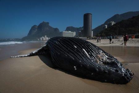 Baleia Jubarte encalhou na Praia de São Conrado, na zona Sul do Rio