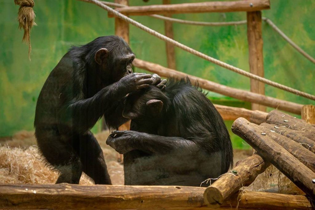 Women are not allowed to see chimpanzees anymore