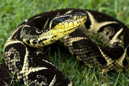 Cobra jararacucu