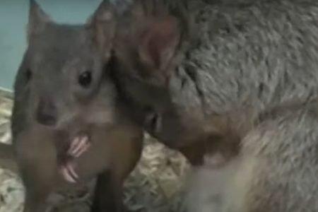 Canguru-rato no Zoo de Moscou