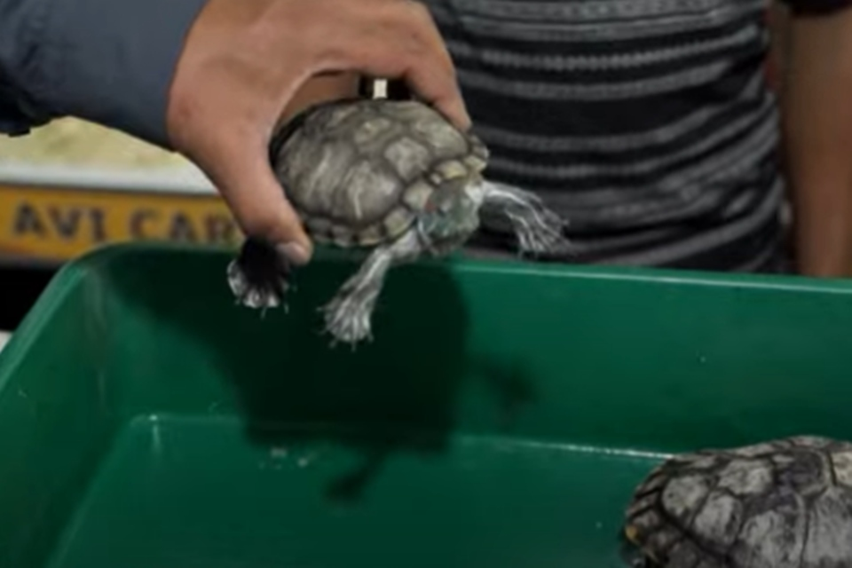Tartarugas canibais na Índia