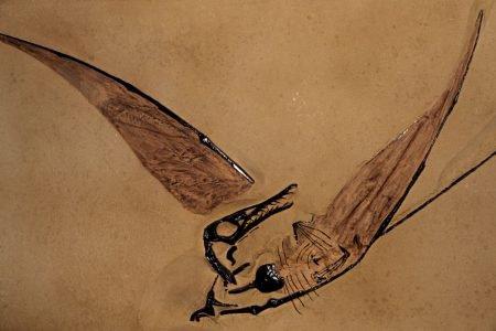 Fóssil pterossauro