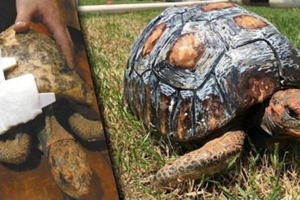 Jabuti que teve casco queimado em incêndio no DF ganha prótese 3D e entra para o livro dos recordes
