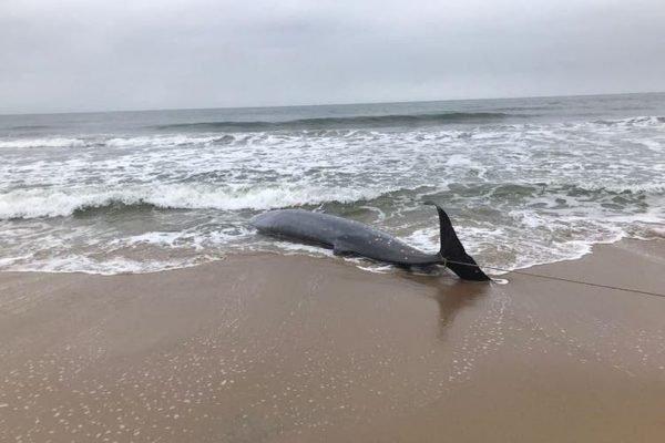 Baleia morre após encalhar em praia de Santa Catarina
