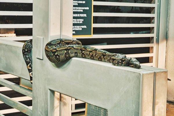 cobra se aloja na entrada de condomínio em anápolis, goiás