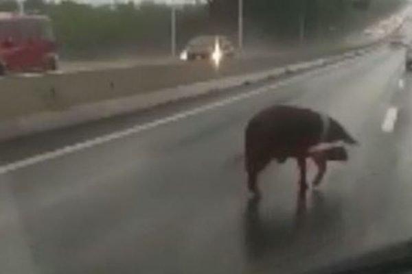 Porco invade pista