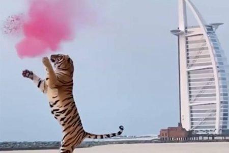Tigre em chá revelação em praia de Dubai