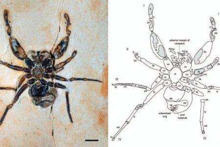 Aranha Cretapalpus vittari será devolvida ao Brasil